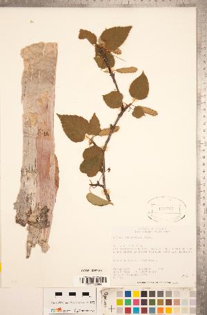 (Betula cordifolia - CCDB-18297-H08)  @11 [ ] Copyright (2015) Deb Metsger Royal Ontario Museum