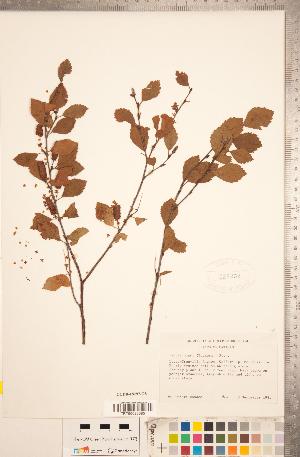 (Betula minor - CCDB-18297-G08)  @11 [ ] Copyright (2015) Deb Metsger Royal Ontario Museum