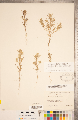 (Corispermum - CCDB-18297-D08)  @11 [ ] Copyright (2015) Deb Metsger Royal Ontario Museum