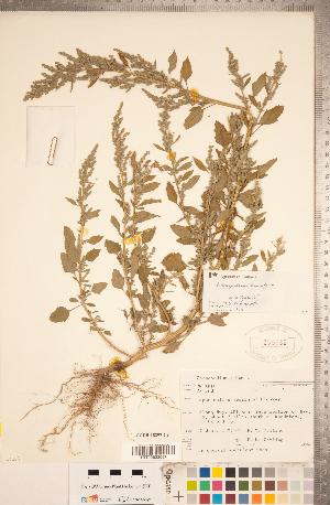 (Chenopodiastrum - CCDB-18297-C09)  @11 [ ] Copyright (2015) Deb Metsger Royal Ontario Museum