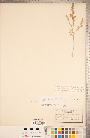 (Atriplex powellii - CCDB-18297-G10)  @11 [ ] Copyright (2015) Deb Metsger Royal Ontario Museum