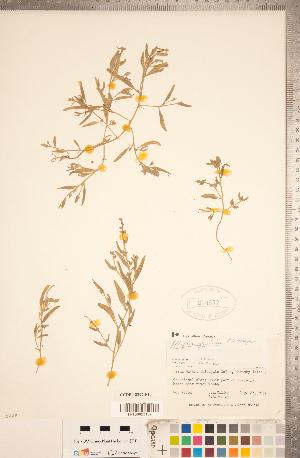 (Atriplex gmelinii - CCDB-18297-F10)  @11 [ ] Copyright (2015) Deb Metsger Royal Ontario Museum