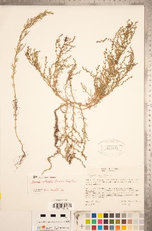 (Suaeda rolandii - CCDB-18297-B11)  @11 [ ] Copyright (2015) Deb Metsger Royal Ontario Museum