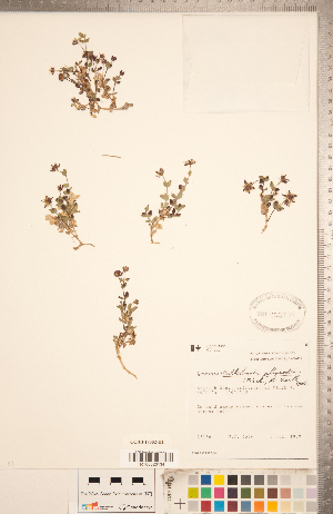 (Wilhelmsia - CCDB-18302-H01)  @11 [ ] Copyright (2015) Deb Metsger Royal Ontario Museum