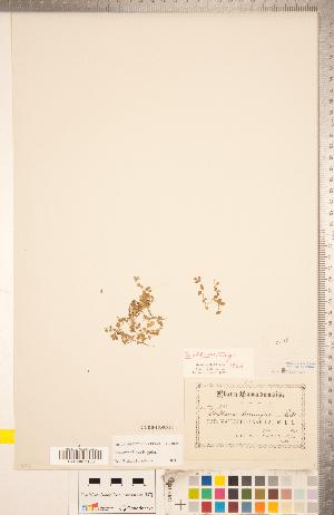 (Stellaria obtusa - CCDB-18302-F01)  @11 [ ] Copyright (2015) Deb Metsger Royal Ontario Museum