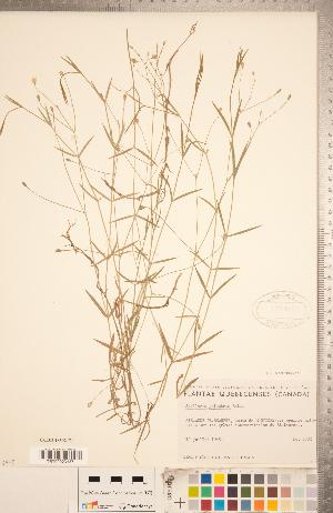 (Stellaria palustris - CCDB-18302-E01)  @11 [ ] Copyright (2015) Deb Metsger Royal Ontario Museum