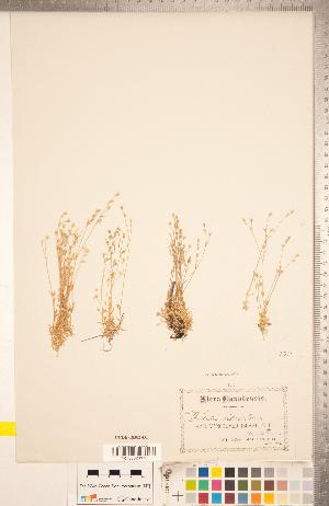 (Stellaria nitens - CCDB-18302-D01)  @11 [ ] Copyright (2015) Deb Metsger Royal Ontario Museum