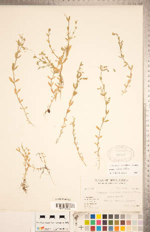 (Stellaria alsine - CCDB-18302-H02)  @11 [ ] Copyright (2015) Deb Metsger Royal Ontario Museum