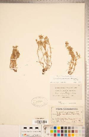 (Spergularia - CCDB-18302-E02)  @11 [ ] Copyright (2015) Deb Metsger Royal Ontario Museum