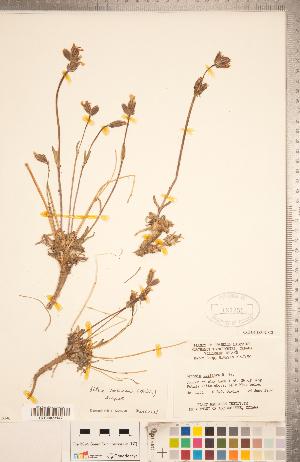 (Silene sorensenis - CCDB-18302-C02)  @11 [ ] Copyright (2015) Deb Metsger Royal Ontario Museum