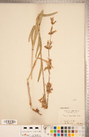 (Silene scouleri - CCDB-18302-B02)  @11 [ ] Copyright (2015) Deb Metsger Royal Ontario Museum