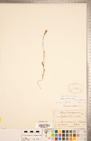 (Silene parryi - CCDB-18302-H03)  @11 [ ] Copyright (2015) Deb Metsger Royal Ontario Museum