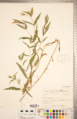 (Silene nivea - CCDB-18302-F03)  @11 [ ] Copyright (2015) Deb Metsger Royal Ontario Museum