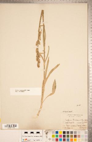 (Silene drummondii subsp. drummondii - CCDB-18302-D03)  @11 [ ] Copyright (2015) Deb Metsger Royal Ontario Museum