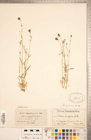 (Silene douglasii - CCDB-18302-C03)  @11 [ ] Copyright (2015) Deb Metsger Royal Ontario Museum