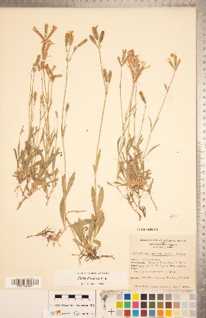 (Silene douglasii - CCDB-18302-G04)  @11 [ ] Copyright (2015) Deb Metsger Royal Ontario Museum