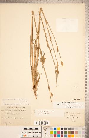 (Silene drummondii subsp. drummondii - CCDB-18302-F04)  @11 [ ] Copyright (2015) Deb Metsger Royal Ontario Museum