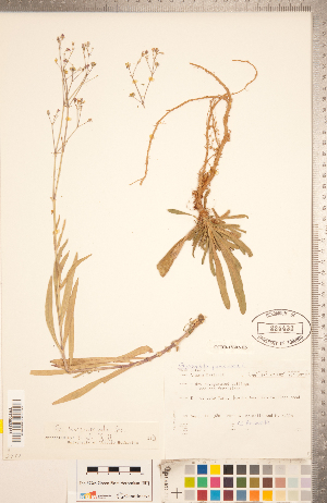 (Gypsophila - CCDB-18302-H05)  @11 [ ] Copyright (2015) Deb Metsger Royal Ontario Museum