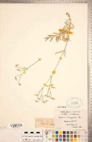 (Cerastium velutinum var. velutinum - CCDB-18302-B05)  @11 [ ] Copyright (2015) Deb Metsger Royal Ontario Museum