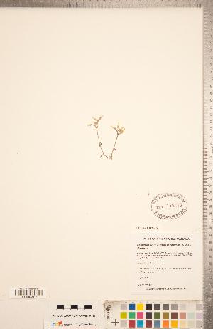 (Cerastium brachypodum - CCDB-18302-A05)  @11 [ ] Copyright (2015) Deb Metsger Royal Ontario Museum