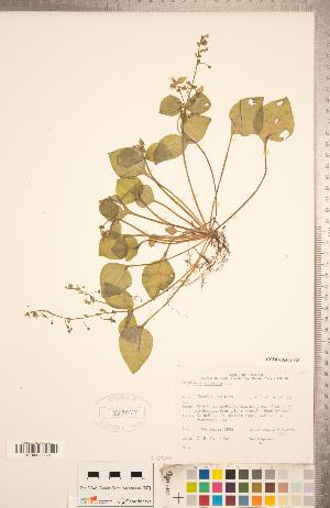 (Claytonia sibirica - CCDB-18302-G06)  @11 [ ] Copyright (2015) Deb Metsger Royal Ontario Museum