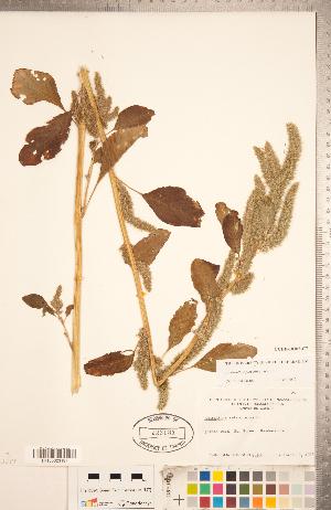 (Amaranthus powellii - CCDB-18302-C07)  @11 [ ] Copyright (2015) Deb Metsger Royal Ontario Museum