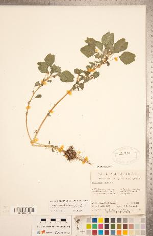 (Amaranthus blitum ssp. emarginatus - CCDB-18302-H08)  @11 [ ] Copyright (2015) Deb Metsger Royal Ontario Museum