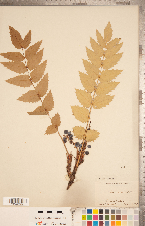 (Berberis nervosa - CCDB-18302-A08)  @11 [ ] Copyright (2015) Deb Metsger Royal Ontario Museum