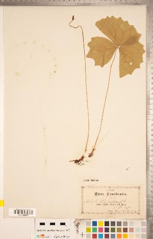 (Achlys - CCDB-18302-H09)  @11 [ ] Copyright (2015) Deb Metsger Royal Ontario Museum