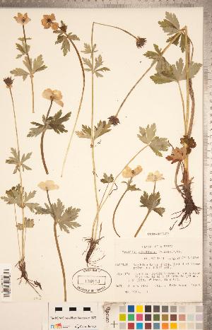 (Trollius - CCDB-18302-F09)  @11 [ ] Copyright (2015) Deb Metsger Royal Ontario Museum