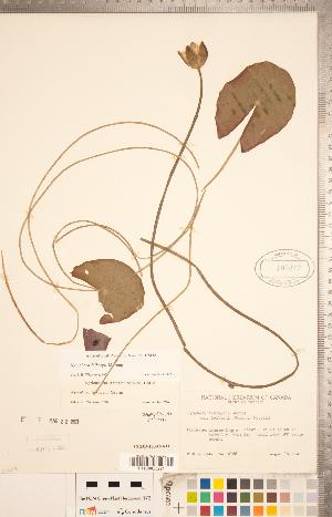 (Nymphaea leibergii - CCDB-18302-A11)  @11 [ ] Copyright (2015) Deb Metsger Royal Ontario Museum
