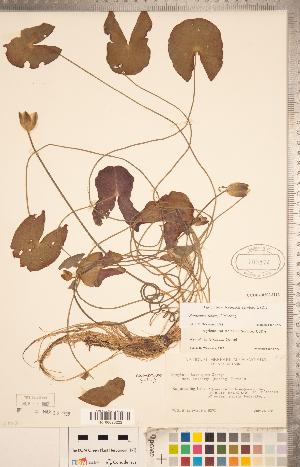 (Nymphaea leibergii - CCDB-18302-H12)  @11 [ ] Copyright (2015) Deb Metsger Royal Ontario Museum