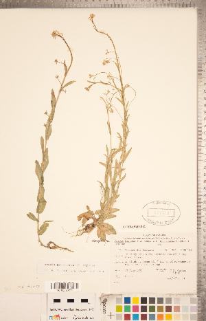 (Arabis pycnocarpa - CCDB-18302-E12)  @11 [ ] Copyright (2015) Deb Metsger Royal Ontario Museum