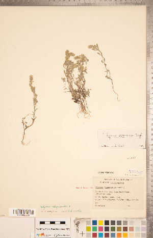 (Alyssum - CCDB-18302-B12)  @11 [ ] Copyright (2015) Deb Metsger Royal Ontario Museum