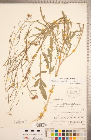 (Diplotaxis - CCDB-18304-D01)  @11 [ ] Copyright (2015) Deb Metsger Royal Ontario Museum