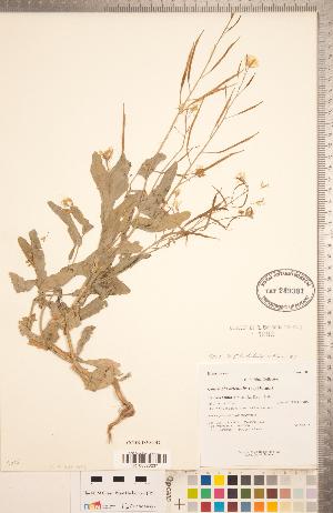 (Conringia - CCDB-18304-H02)  @11 [ ] Copyright (2015) Deb Metsger Royal Ontario Museum