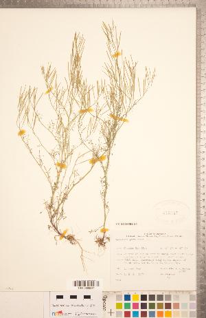(Cardamine parviflora - CCDB-18304-H03)  @11 [ ] Copyright (2015) Deb Metsger Royal Ontario Museum