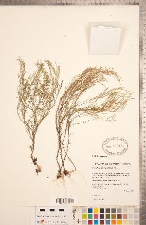 (Cardamine parviflora - CCDB-18304-F03)  @11 [ ] Copyright (2015) Deb Metsger Royal Ontario Museum