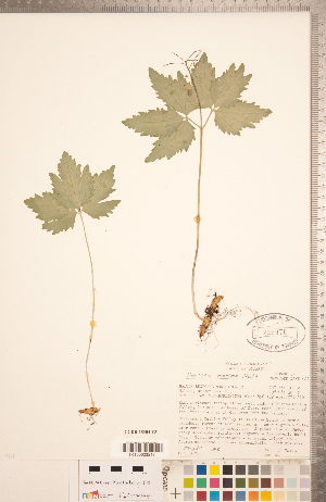 (Cardamine maxima - CCDB-18304-E03)  @11 [ ] Copyright (2015) Deb Metsger Royal Ontario Museum