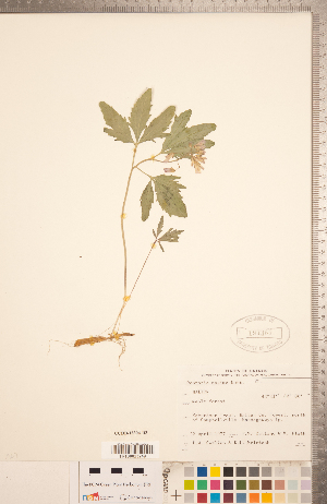 (Cardamine maxima - CCDB-18304-D03)  @11 [ ] Copyright (2015) Deb Metsger Royal Ontario Museum