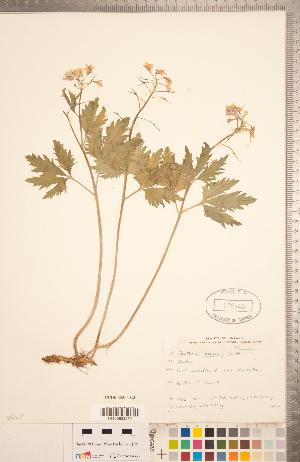 (Cardamine maxima - CCDB-18304-C03)  @11 [ ] Copyright (2015) Deb Metsger Royal Ontario Museum