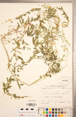 (Cardamine impatiens - CCDB-18304-H04)  @11 [ ] Copyright (2015) Deb Metsger Royal Ontario Museum