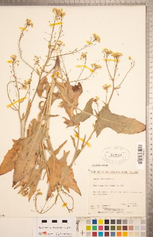 (Bunias - CCDB-18304-D04)  @11 [ ] Copyright (2015) Deb Metsger Royal Ontario Museum