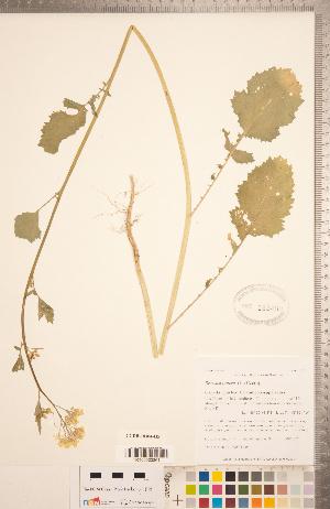 (Brassica juncea - CCDB-18304-H05)  @11 [ ] Copyright (2015) Deb Metsger Royal Ontario Museum