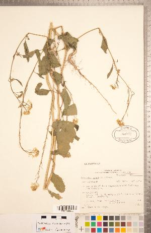 (Brassica nigra - CCDB-18304-G05)  @11 [ ] Copyright (2015) Deb Metsger Royal Ontario Museum
