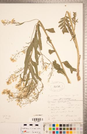 (Armoracia - CCDB-18304-H07)  @11 [ ] Copyright (2015) Deb Metsger Royal Ontario Museum