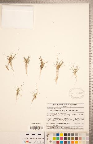(Subularia - CCDB-18304-A07)  @11 [ ] Copyright (2015) Deb Metsger Royal Ontario Museum