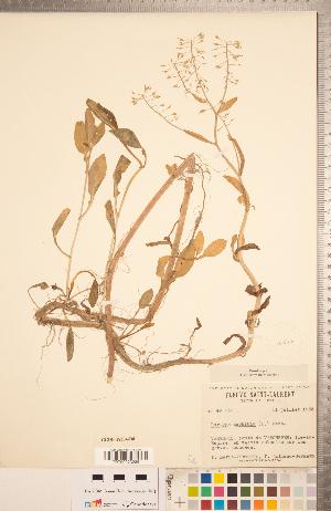 (Rorippa amphibia - CCDB-18304-D08)  @11 [ ] Copyright (2015) Deb Metsger Royal Ontario Museum