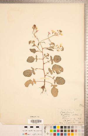 (Raphanus sativus - CCDB-18304-G09)  @11 [ ] Copyright (2015) Deb Metsger Royal Ontario Museum
