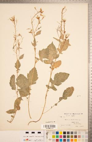 (Raphanus raphanistrum - CCDB-18304-E09)  @11 [ ] Copyright (2015) Deb Metsger Royal Ontario Museum